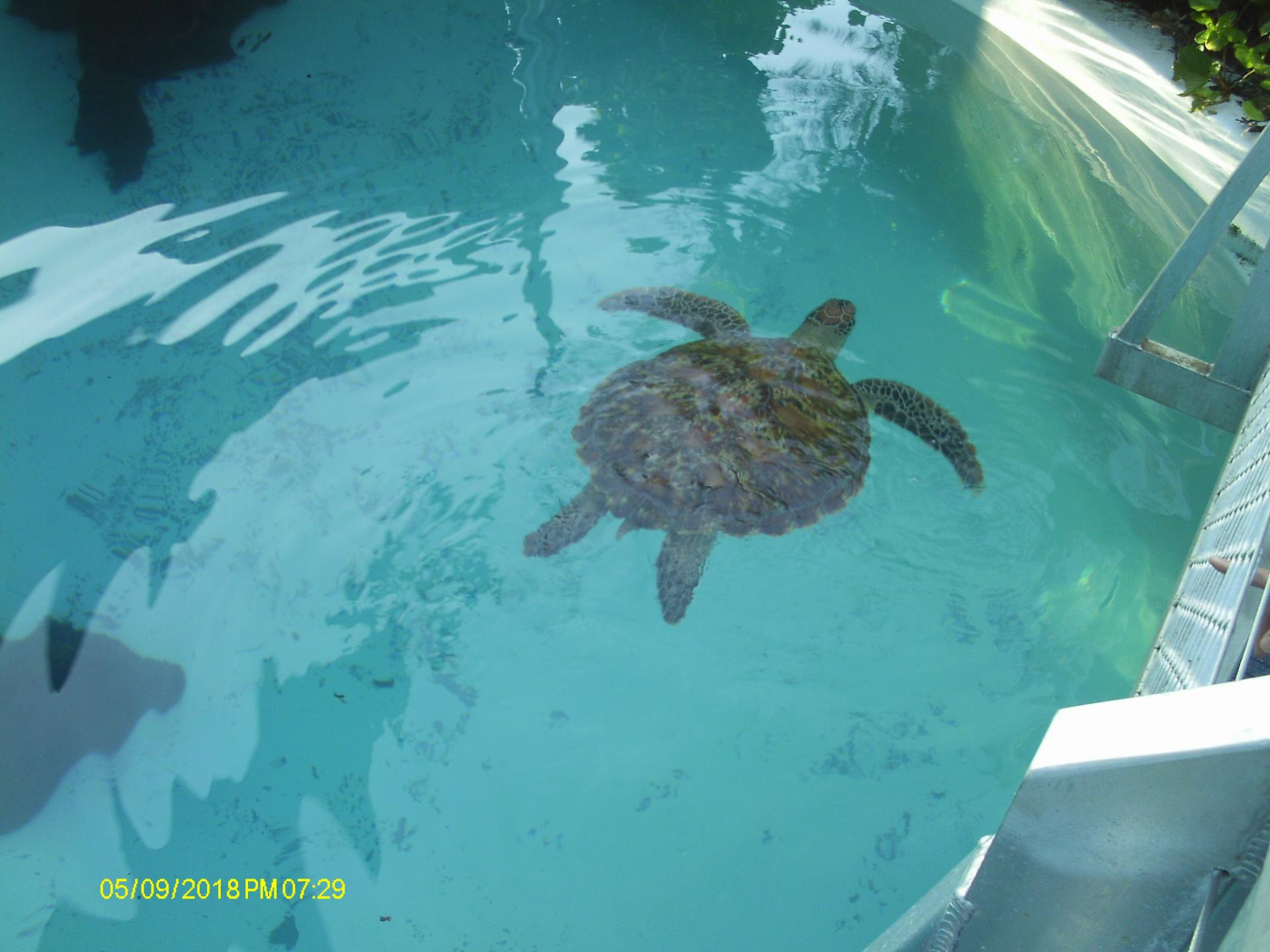 Tortue de mer du Centre aquatique Nouméa, Photo Fabienne