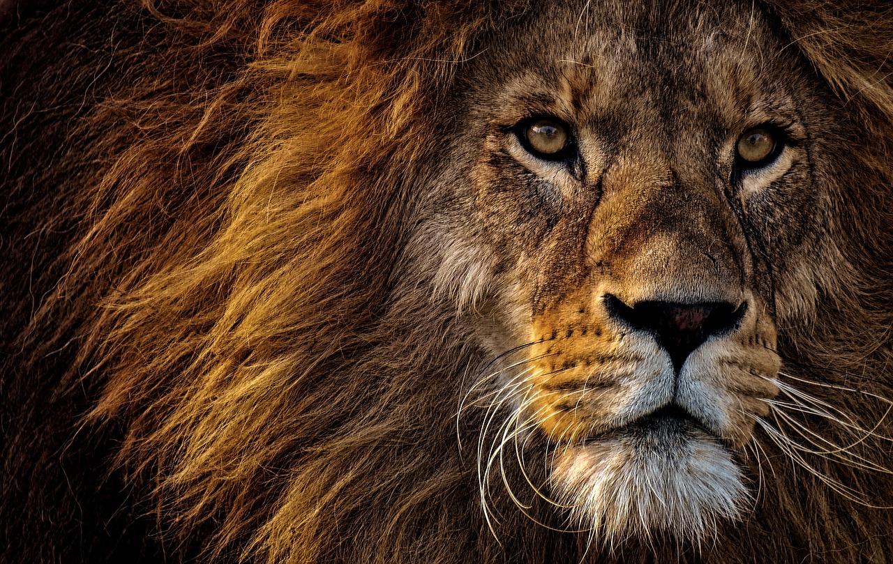 Le lion qui avait perdu sa crinière